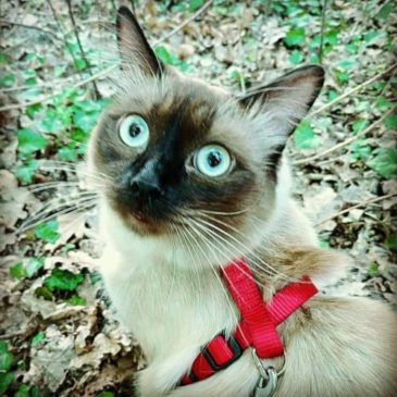 Leash training a cat: seven important lessons
