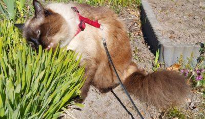 Как научить кота гулять на поводке: 7 уроков